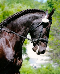 4 year old Friesian Gelding-2012/2013 USDF 1st place All Breeds Winner. ( father is Fridse 423 Sport)